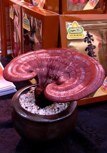 Red reishi is also believed to inhibit the growth of cancer cells because of its effect on the immune system.